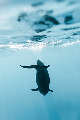 underwater image of whale swimming - p1166m2073765 by Cavan Images
