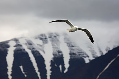 Seagull flying against mountains during winter - p1166m2025248 by Cavan Images