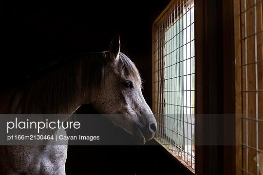 Arabian horse looking out barn window - p1166m2130464 by Cavan Images