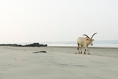 Kuh am Strand - p4120022 von Darshana