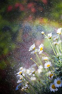 Marguerites in the rain - p739m1030873 by Baertels