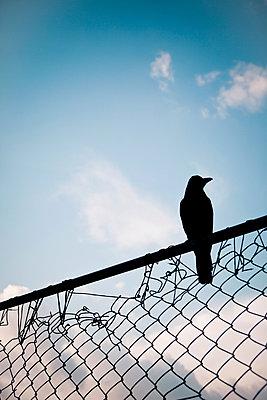 Krähe auf Zaun - p795m1045278 von Janklein