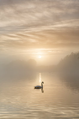 Swan on misty lake at sunrise, Clumber Park, Nottinghamshire, England, United Kingdom, Europe - p871m1206556 by John Potter