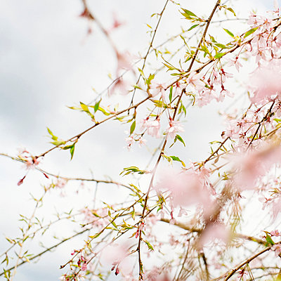 Cherry blossoms - p989m953115 by Gine Seitz