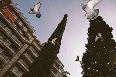 Tauben fliegen tief - p1085m912433 von David Carreno Hansen