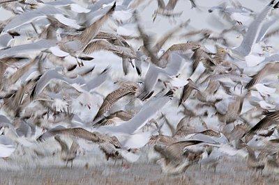 A group of seagulls flying in panic after disturbance on the beach of Wijk aan Zee - p1144m967498 by Ronald van  Wijk