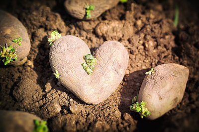 Heart shaped potato - p1149m1574276 by Yvonne Röder