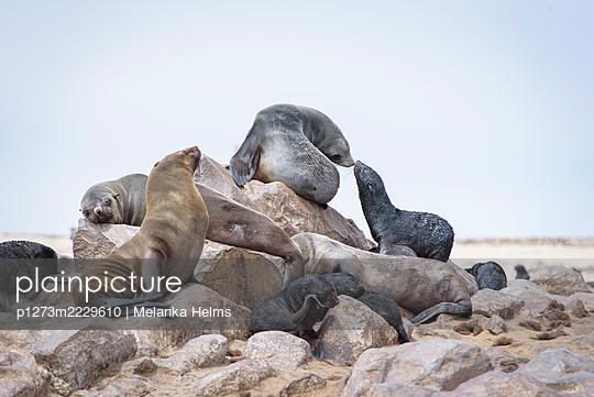 Afrika, Namibia, Robben - p1273m2229610 von Melanka Helms