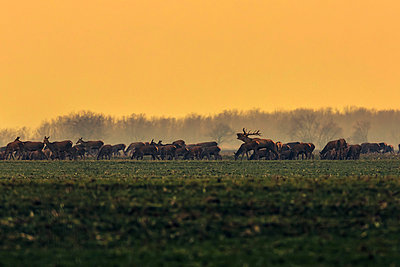 Herd of red deer in the morning - p1026m1038762f by Romulic-Stojcic