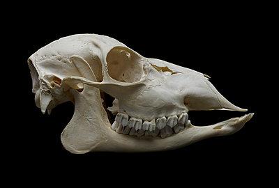 Animal Skull - p250m1090974 by Christian Diehl