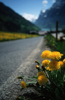 Dandelion in the mountains - p2680164 by M. Klippel