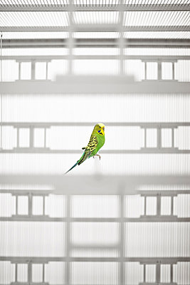 Budgerigar in a cage - p390m881036 by Frank Herfort