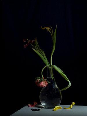 Tulpen und toter Falter - p444m898512 von Müggenburg