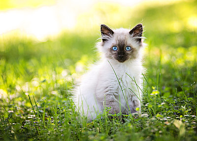 Beautiful Seal Point Kitten in the Grass - p1166m2146632 by Cavan Images