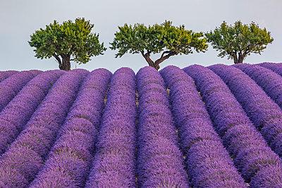 Lavender raws and trees. Plateau de Valensole, Alpes-de-Haute-Provence, Provence-Alpes-Cote d'Azur, France, Europe. - p651m2006632 by ClickAlps