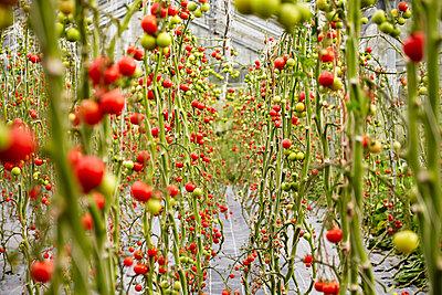 Tomaten im Gewächshaus - p1272m1083325 von Steffen Scheyhing