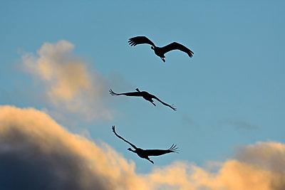 Drei Kraniche vor goldenen Wolken am Abend - p235m2021744 von KuS