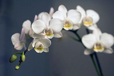 White orchid - p30118022f by Halfdark