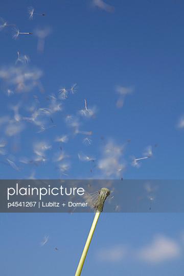 Pusteblume - p4541267 von Lubitz + Dorner