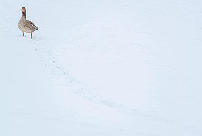 grauwe gans; greylag Goose; anser anser - p1144m967229 by Nico van  Kappel
