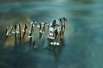 Icicles and ice crystals on reed at winter - p1312m2182155 by Axel Killian