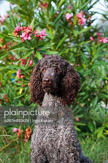 Brown poodle - p267m833474 by Ingo Kukatz