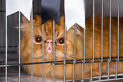 Katze im Käfig auf einer Katzenshow - p1057m1564461 von Stephen Shepherd
