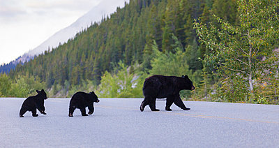 Female of American black bear crossing road with calves - p575m784906f by Lars-Olof Johansson