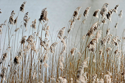 Reed - p949m856255 by Frauke Schumann