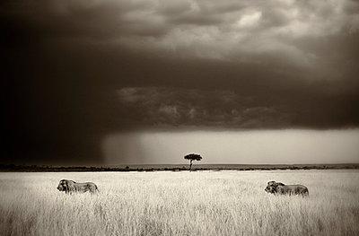 Kenia Masai Mara - p7450057 by Reto Puppetti