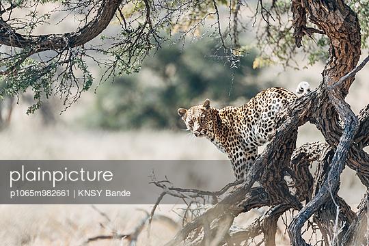 Ein Leopard auf einem Baum, Kalahari, Südafrika - p1065m982661 von KNSY Bande