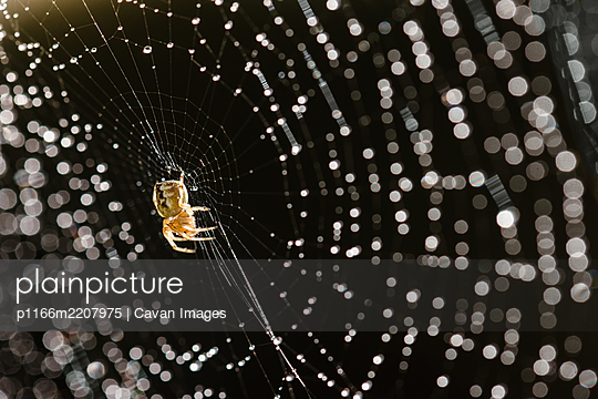 Tiny garden spider on web covered in morning dew drops - p1166m2207975 by Cavan Images