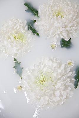 Chrysanthemums in milky water - p1248m2281046 by miguel sobreira