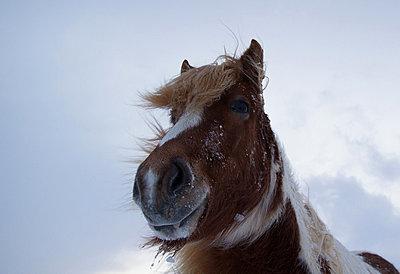 Icelandic horse  - p1084m832863 by Operation XZ