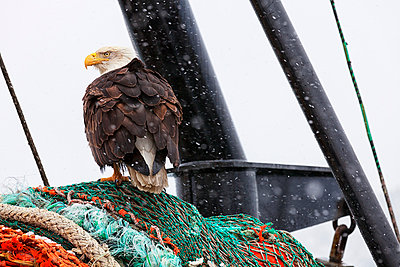Bald eagle perched on fishing net in search of scraps during snow squall in Kodiak, Alaska - p442m967051 by Marion Owen