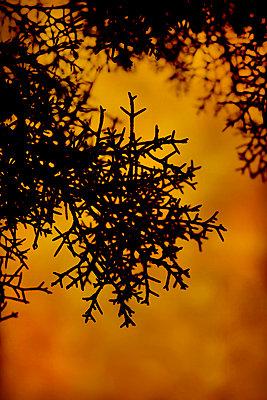 Arizona cypress twigs in backlight (Cupressus arizonica) - p1028m2215971 by Jean Marmeisse