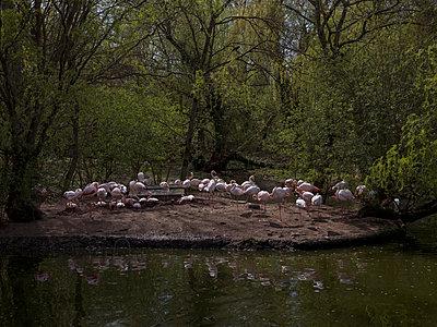 Flock of pink flamingos under trees - p1216m2185799 von Céleste Manet