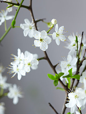 White blossom detail - p349m2167872 by Sussie Bell