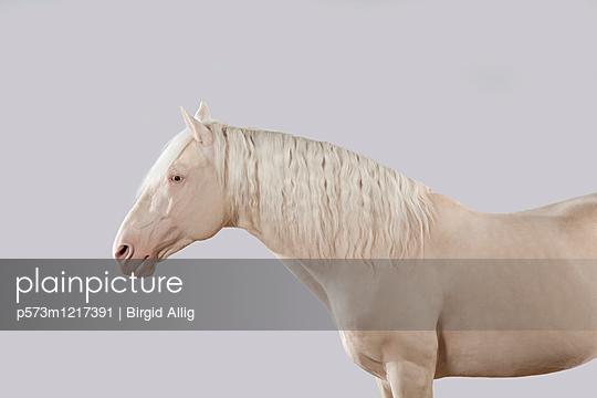 Pferdeportrait - p573m1217391 von Birgid Allig