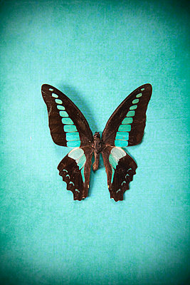 Exotic butterfly against turquoise background - p1248m2209173 by miguel sobreira