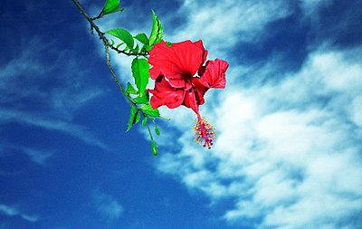 Red blossom in front of blue sky - p567m720820 by Jesse Untracht-Oakner