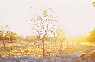Sheep pasture in backlight - p885m890730 by Oliver Brenneisen