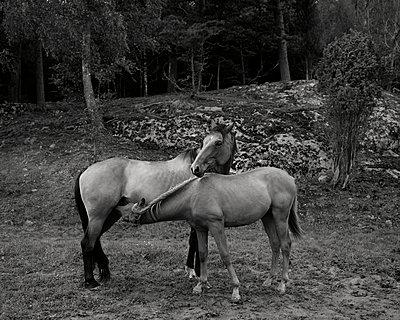 Zwei Pferde - p972m1333493 von Felix Odell