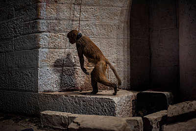 India, Tied monkey - p1007m2099053 by Tilby Vattard