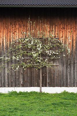 Fruit tree infront of barnhouse - p1149m1131701 by Yvonne Röder