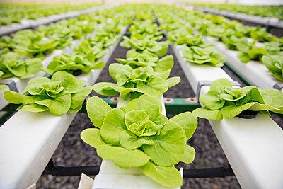 Vegetables growing in greenhouse - p300m2084100 von zerocreatives