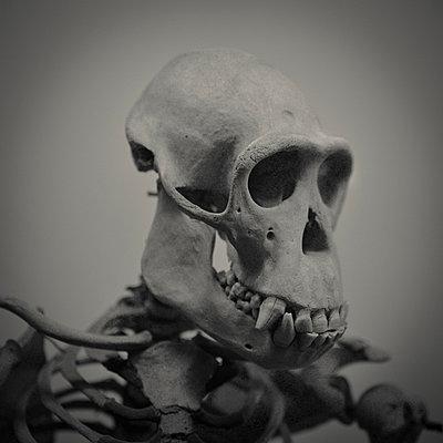 chimpanzee Skull - p1072m1056703 by Neville Mountford-Hoare