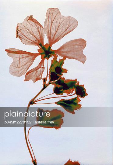 Pressed flowers - p945m2278192 by aurelia frey