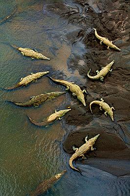 Costa Rica, Saltwater Crocodiles, Rio Tarcoles, Carara Wildlife Refuge - p651m860509 by John Coletti photography