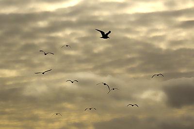 Vogelzug - p816m1032273 von Rustand Leif